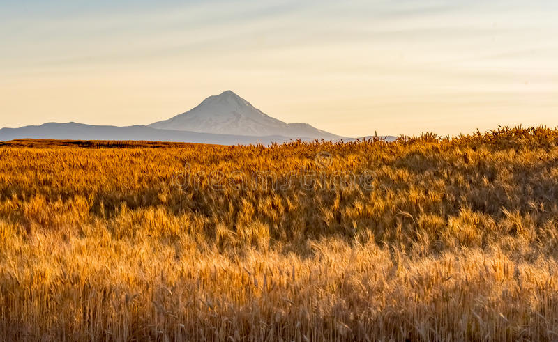 Wheat Field Ready to Harvest in Central Oregon stock image