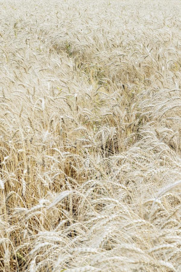 Wheat field, ripe barley, rye field with a trail, sunny day, natural background, selective focus royalty free stock photo