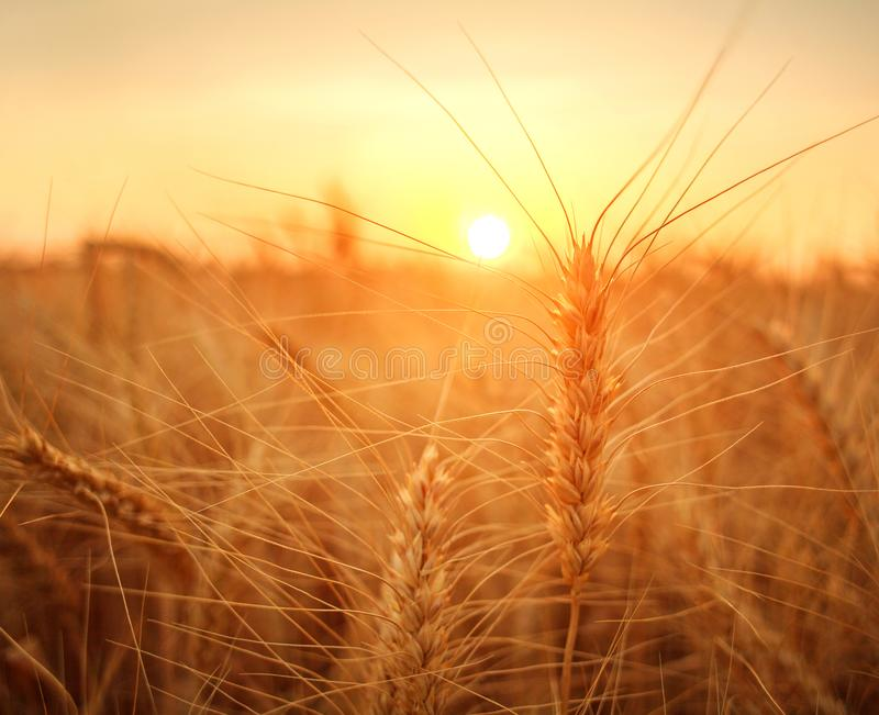 Wheat field ripe grains and stems wheat on background dramatic sunset, season agricultures grain harvest. Wheat field ripe grains and stems wheat on the stock photo