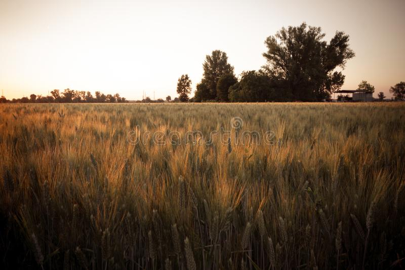 Wheat field with ripe spikes royalty free stock photo