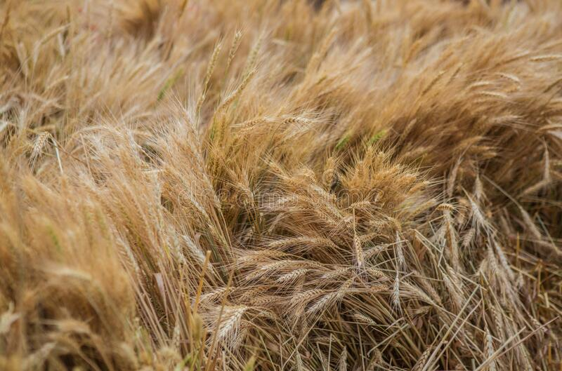 Wheat field with ripened ears of corn royalty free stock photos