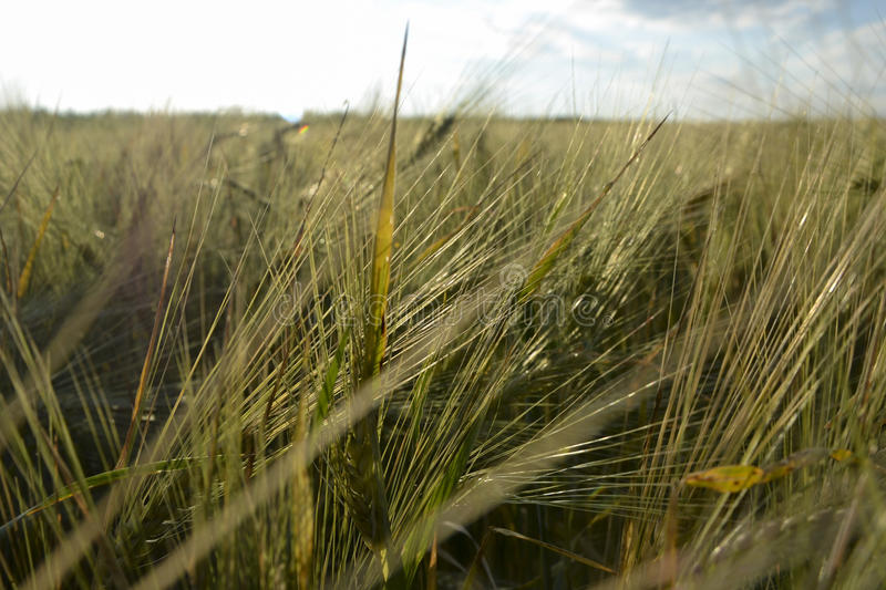 Wheat field rising sun. Wheat field on the background of the rising sun stock images