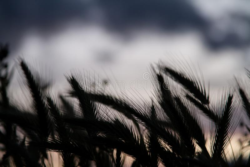 Wheat field silhouette royalty free stock photography
