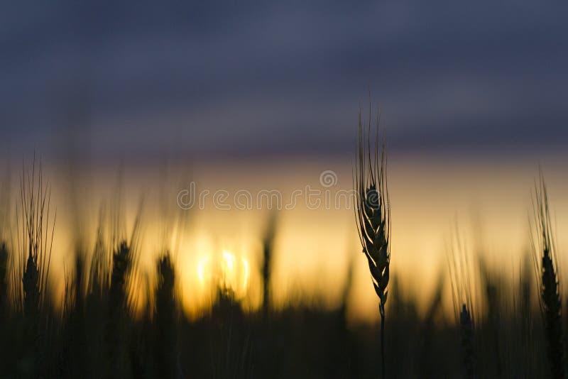 Wheat field silhouette stock image