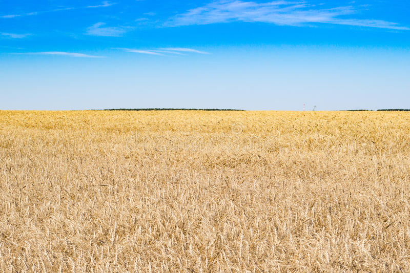 Wheat field and sky in the summer royalty free stock photo