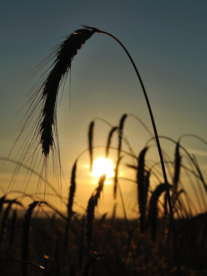 Wheat field with spike silhouettes at sunset royalty free stock image