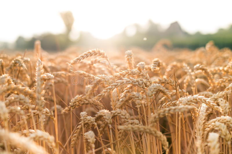 Wheat field in a summer day. Natural background. Sunny weather. Rural scene and shining sunlight. Agricultural. Wheat field in a summer day. Natural background stock photo
