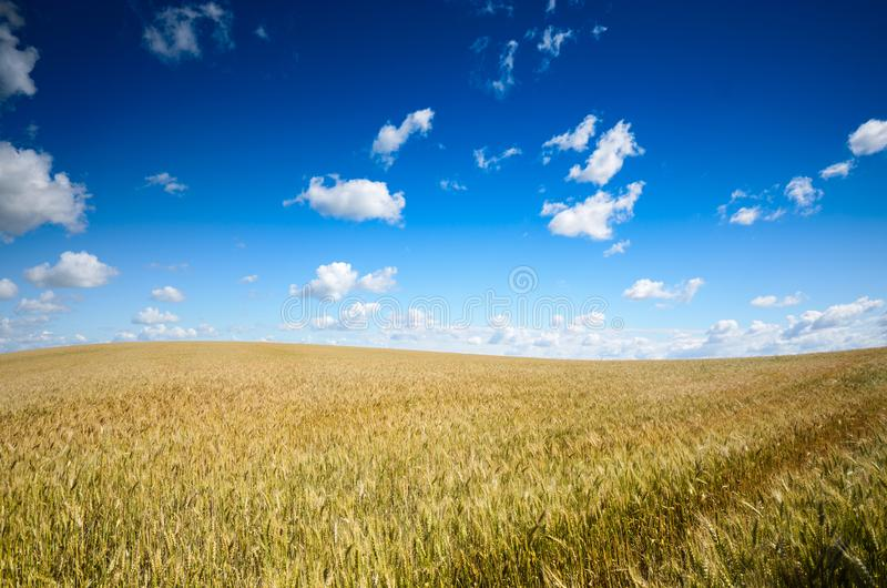 Wheat field summer sunny day under cloudy blue sky royalty free stock image