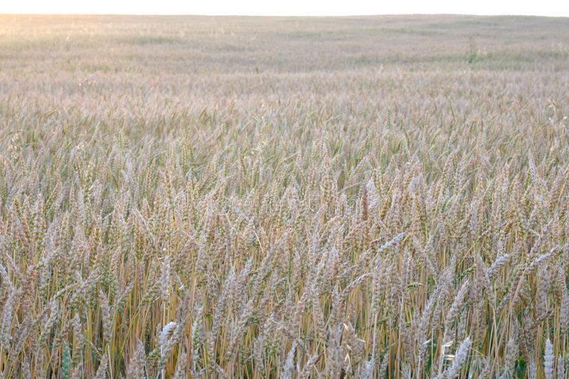 Wheat field in the summer during sunset, extending stock photos