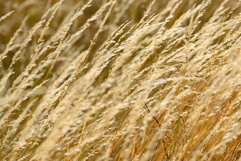 Wheat field at summer stock photos