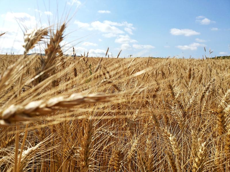 Wheat field. Sunny day, ripe wheat field royalty free stock images