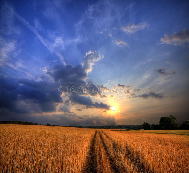 Wheat field on sunset. Rural landscape with wheat field on sunset royalty free stock image