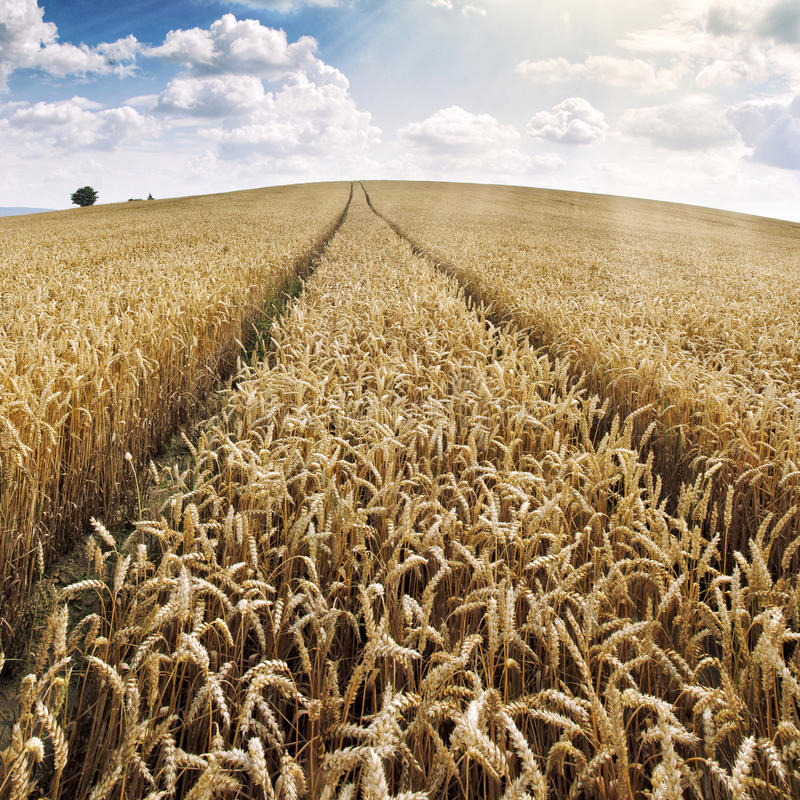 Download Wheat field at sunset stock image. Image of field, environment - 25936661