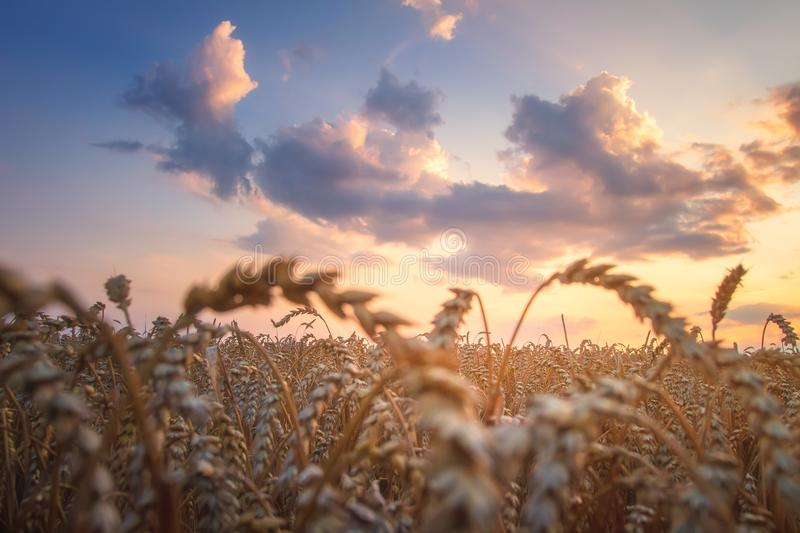 Wheat field at sunset. Agriculture golden field in the evening with colorful cloudy sky. Bright sunset over wheat ears. Harvest stock photography