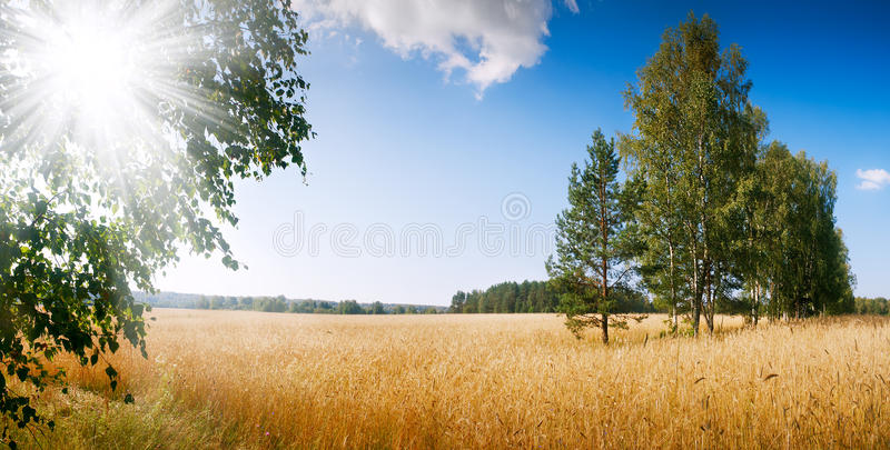 Wheat field at sunset forest horizontal background royalty free stock image