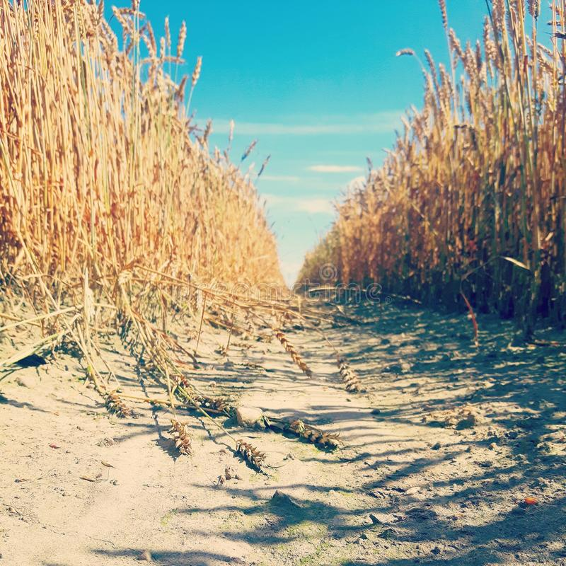 The Wheat Field royalty free stock photography