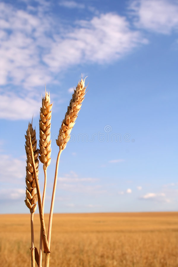 Wheat field with three ears. And the field on the background stock images