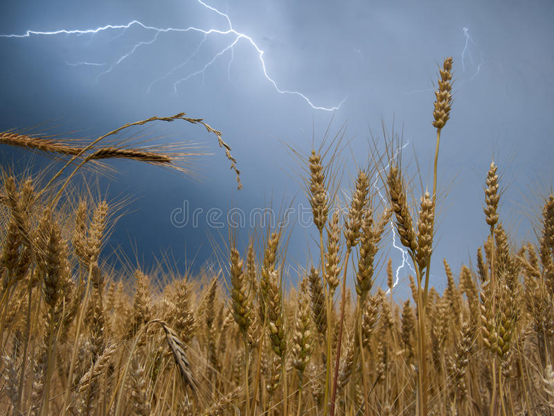 Wheat Field in Thunderstorm royalty free stock image