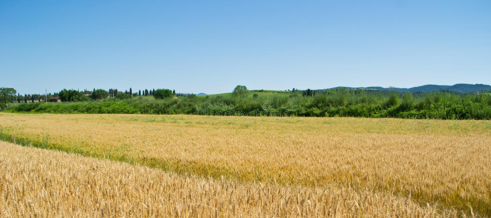 Download Wheat field in Tuscany stock photo. Image of farm, evening - 26877278
