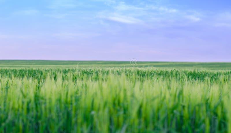Wheat field, Ukraine stock photo