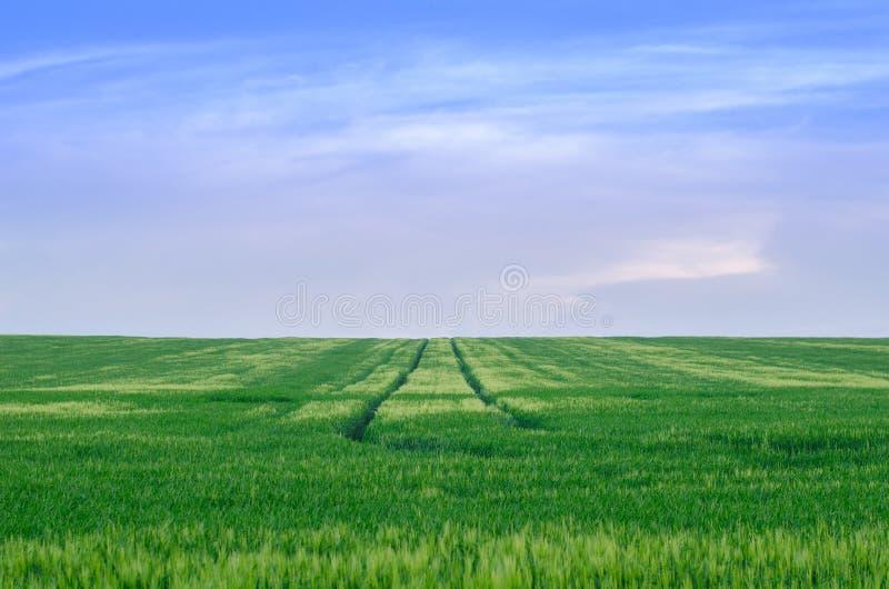 Wheat field, Ukraine royalty free stock image