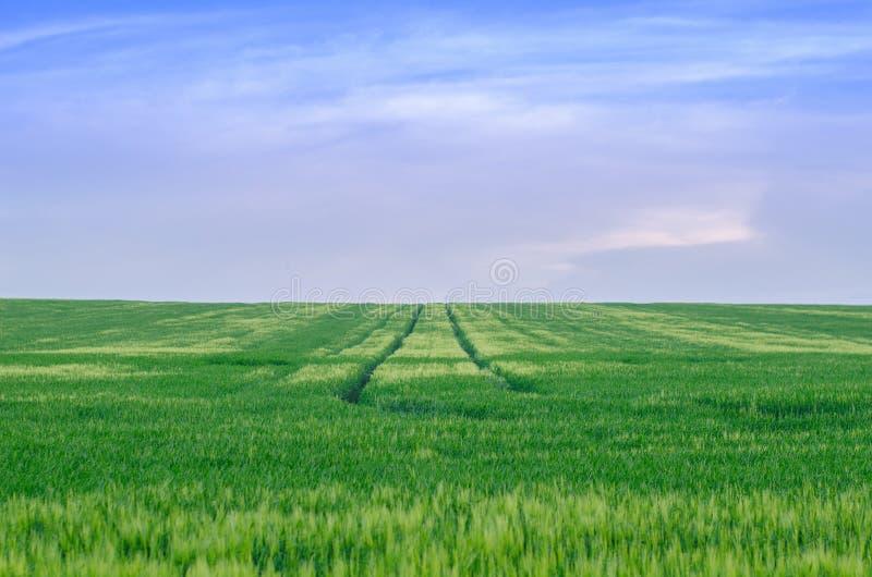 Wheat field, Ukraine royalty free stock photo