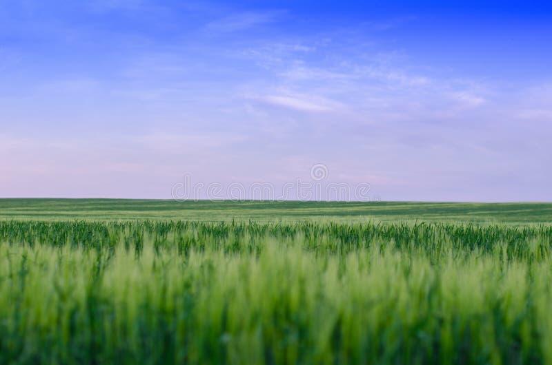 Wheat field, Ukraine stock images