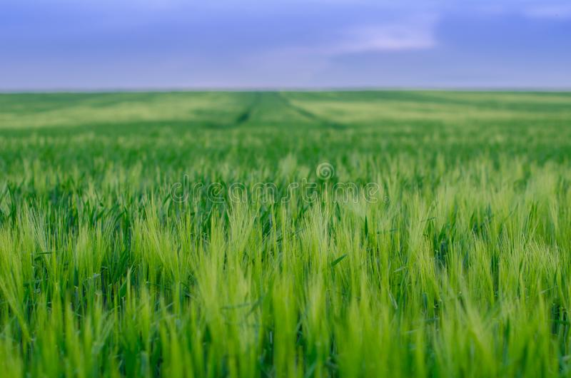 Wheat field, Ukraine stock image