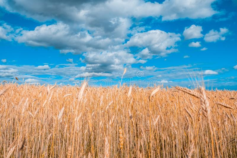 Wheat field under beautiful blue sky. Wheat field under beautiful blue sky with white fluffy clouds royalty free stock images