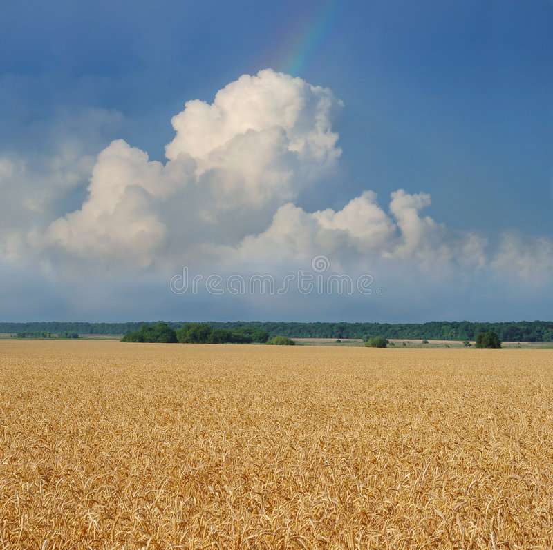 Wheat field under the blue sky. With clouds stock photo
