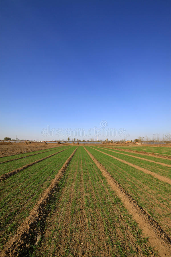 Wheat field under the blue sky. Natural landscape in rural, North China royalty free stock photography