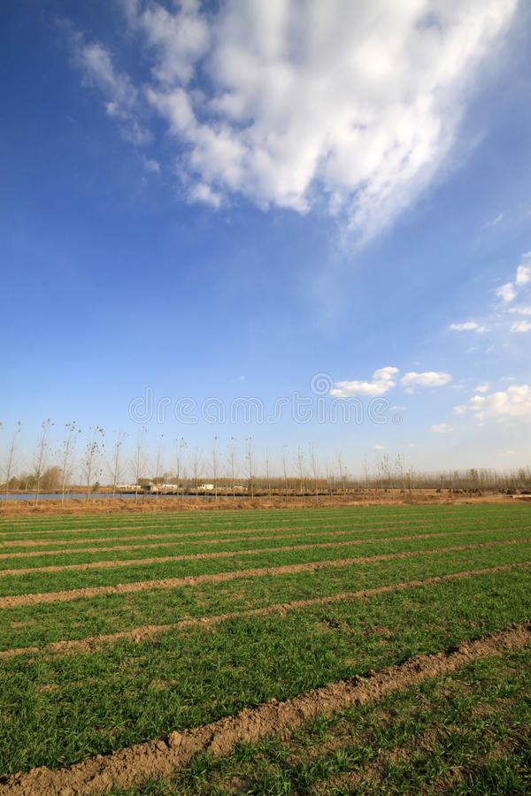Wheat field under the blue sky. Natural landscape in rural, North China stock photos