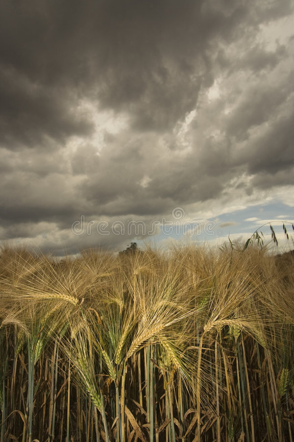 Wheat field under menacing sky stock photos