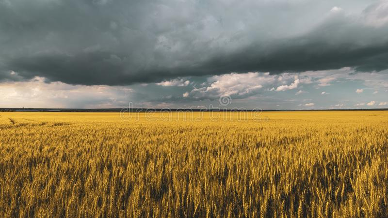 Wheat field under sunset cloud sky. Fields, clouds, skies, agricultures, wheats, blues, sunsets, crops, farms, landscapes, rurals, yellows, summers royalty free stock photos
