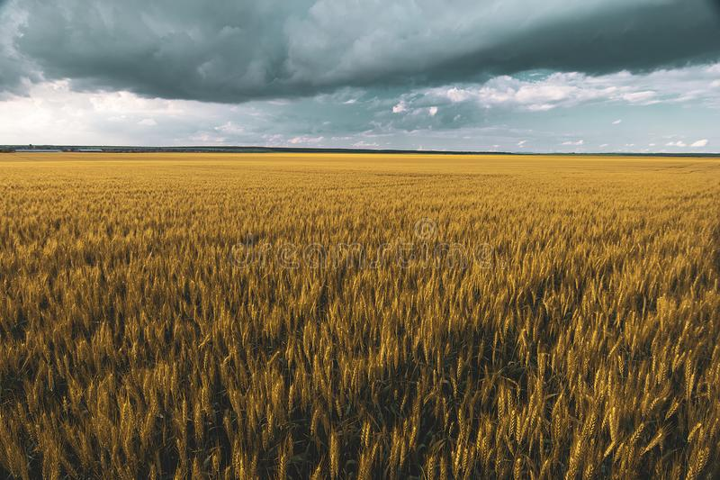 Wheat field under sunset cloud sky. Fields, clouds, skies, agricultures, wheats, blues, sunsets, crops, farms, landscapes, rurals, yellows, summers stock photo