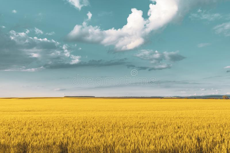Wheat field under sunset cloud sky. Fields, clouds, skies, agricultures, wheats, blues, sunsets, crops, farms, landscapes, rurals, yellows, summers royalty free stock photography
