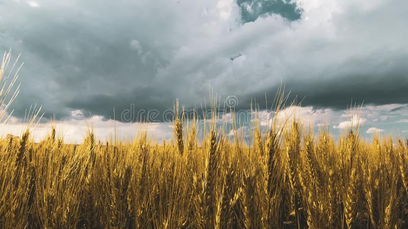 Wheat field under sunset cloud sky. Fields, clouds, skies, agricultures, wheats, blues, sunsets, crops, farms, landscapes, rurals, yellows, summers stock photos