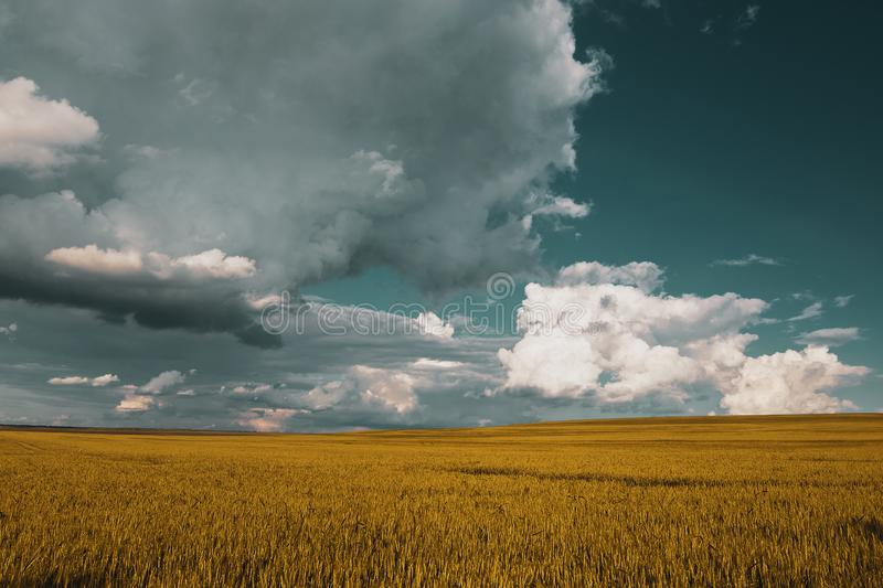 Wheat field under sunset cloud sky. Fields, clouds, skies, agricultures, wheats, blues, sunsets, crops, farms, landscapes, rurals, yellows, summers royalty free stock images