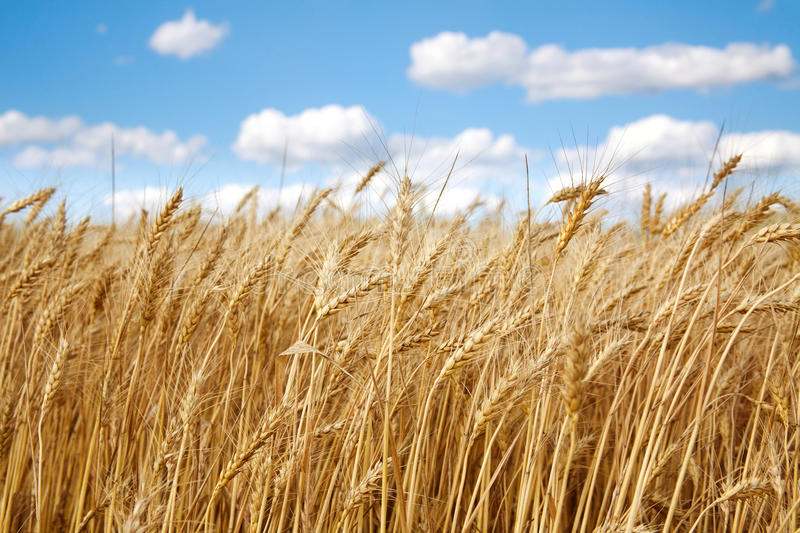 Wheat field under the white clouds on blue sky royalty free stock photography