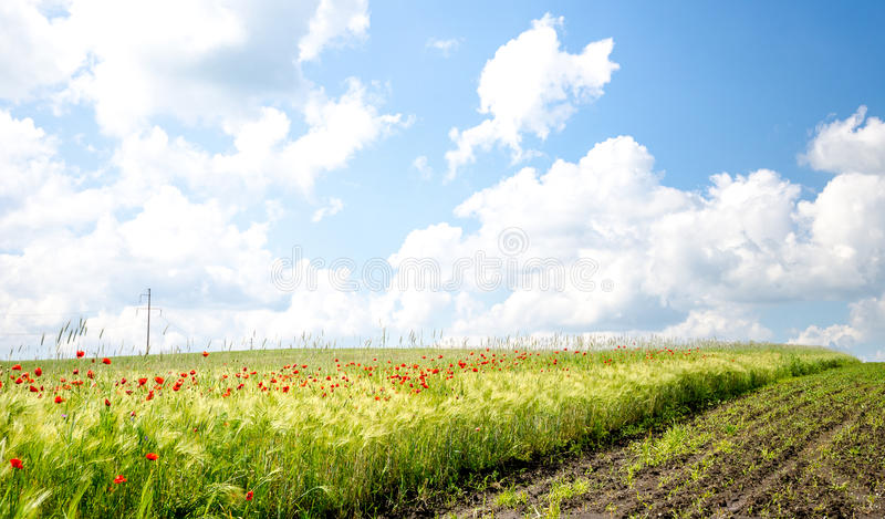 Wheat field with wild poppies royalty free stock image