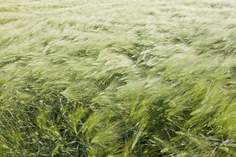 Download Wheat field in the wind stock photo. Image of blur, summer - 26316666
