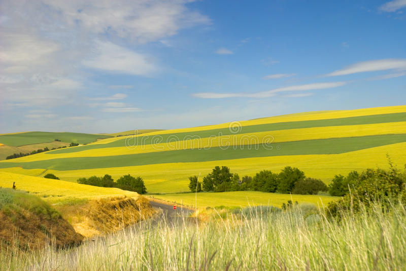 Palouse Wheat fields in countryside. Scenic view of different shaded green wheat fields in countryside with blue sky and cloudscape background royalty free stock image