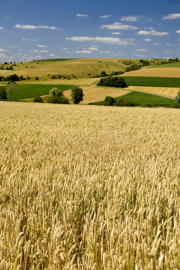 Wheat fields royalty free stock photos