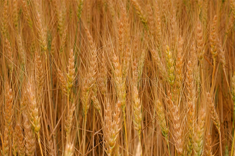 Download Wheat Fields stock image. Image of organic, produce, cultivate - 6188291