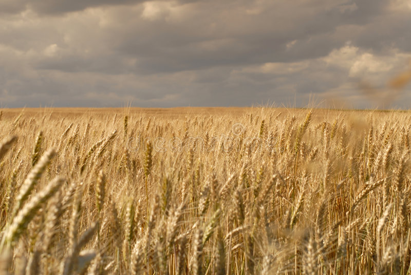 Wheat fields with clouds royalty free stock photography