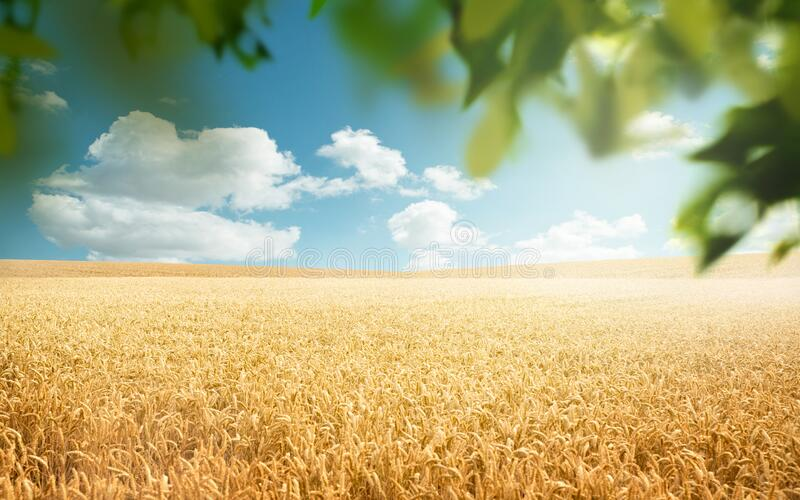 Wheat Fields In The Countryside stock photos