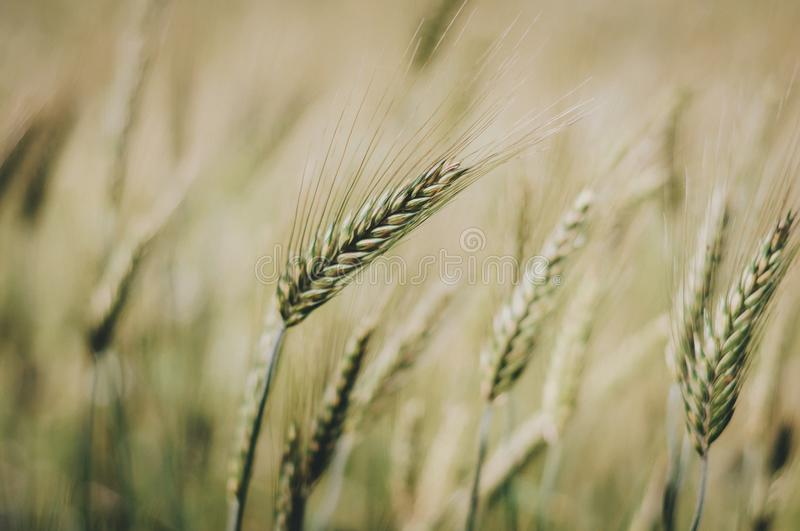 Wheat in the wind royalty free stock images