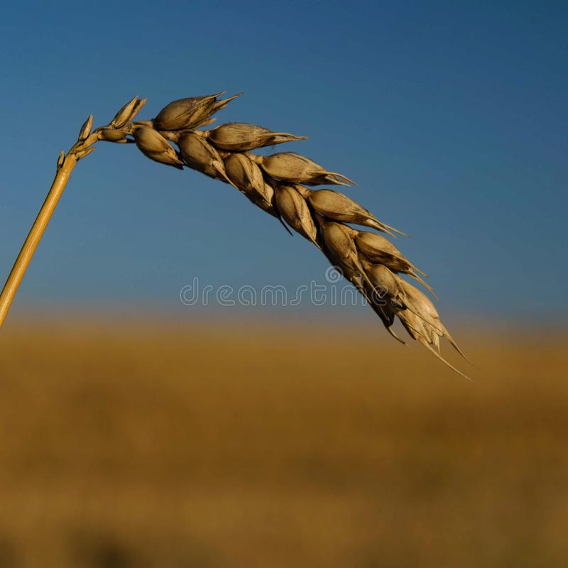 Wheat fields stock photography