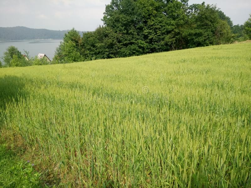 Wheat fields green. Wheat fields in the development of the summer green royalty free stock photo
