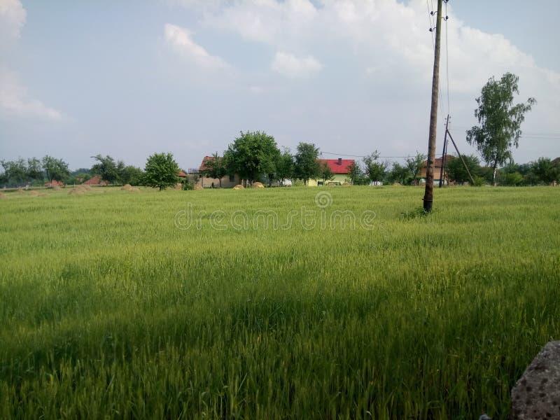 Wheat fields green. Wheat fields in the development of the summer green stock photos